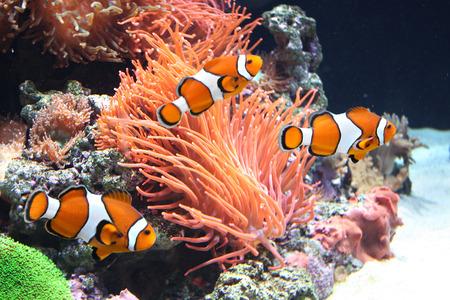 Anémona de mar y los peces payaso en el acuario marino