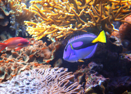 Underwater scene. Coral fish blue tang