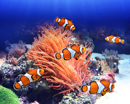 clown anemonefish: Sea anemone and clown fish in ocean Stock Photo