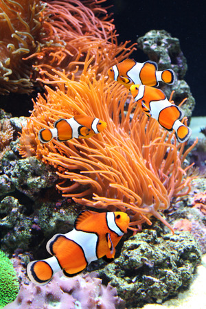 clown fish: Sea anemone and clown fish in marine aquarium
