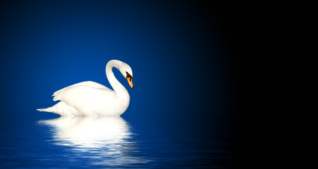 mute swan: Mute swan on blue background