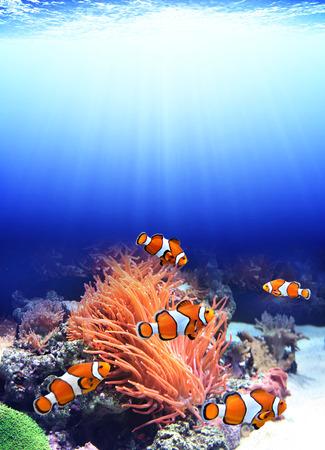 damselfish: Sea anemone and clown fish in ocean Stock Photo