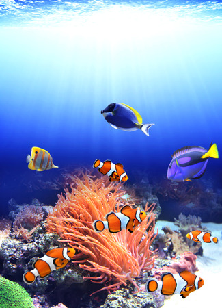 clown fish: Sea anemone and clown fish in ocean Stock Photo