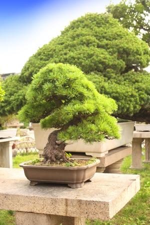 humble: Bonsai in Humble Administrators Garden, Suzhou, China