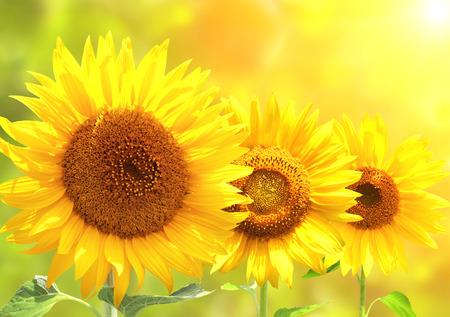 밝은 노란색 해바라기와 태양