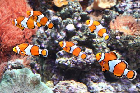 damselfish: Sea anemone and clown fish in marine aquarium