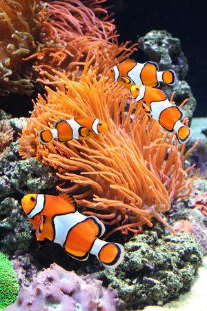 해양 수족관에있는 말미잘과 광대 물고기