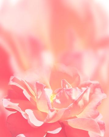 Softness rose on pink background Stock Photo