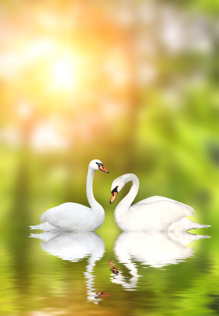 mute swan: Two white swans on green background