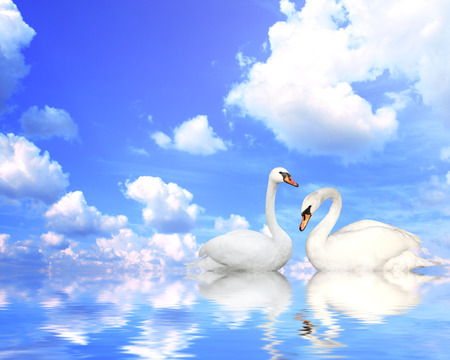 swimming swan: Two mute swans on blue water Stock Photo