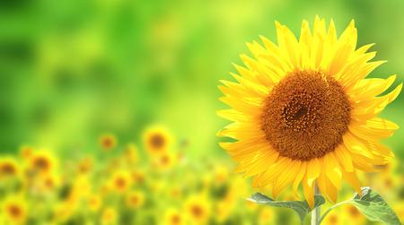 Leuchtend gelbe Sonnenblumen auf grünem Hintergrund