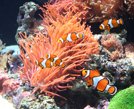 marine aquarium: Sea anemone and clown fish in marine aquarium
