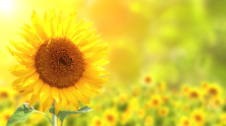 a sunflower: Bright yellow sunflowers and sun