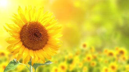 girasol: Brillantes girasoles amarillos y el sol Foto de archivo
