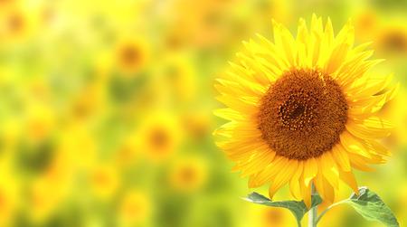 girasol: Girasoles amarillos brillantes en fondo amarillo