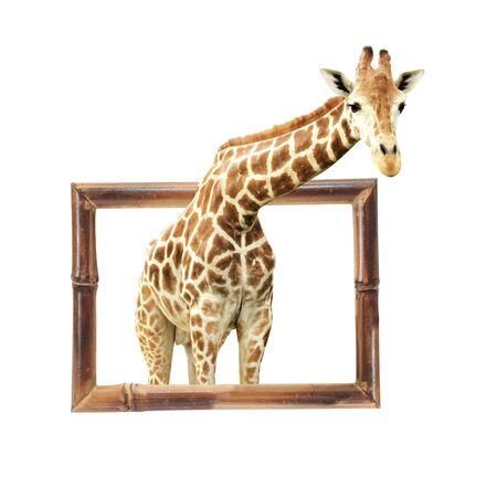 jirafa fondo blanco: Jirafa en el marco de bamb� con efecto 3D. Aislado en el fondo blanco