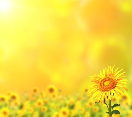 sunflowers field: Bright sunflowers on yellow background