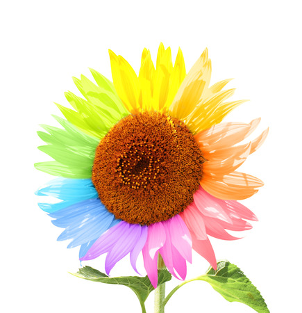 Petals of a sunflower painted in different colors. Isolated on white background Reklamní fotografie - 44164251