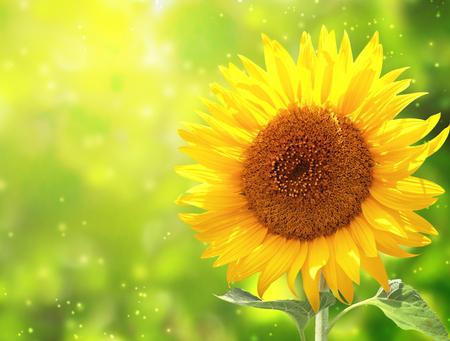 Heldere gele zonnebloem op groene zonnige achtergrond Stockfoto