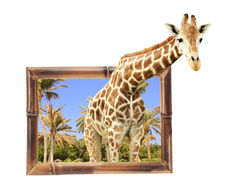 stereoscopic: Giraffe in bamboo frame with 3d effect. Isolated on white background Stock Photo