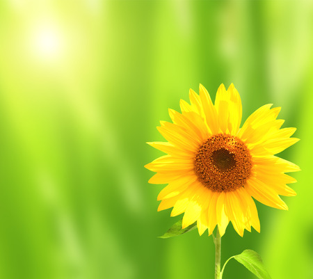 yellow green: Bright yellow sunflower on green sunny background