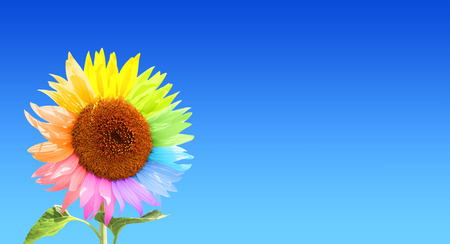 a sunflower: Sunflower with petals, painted in different colors. On blue sky background