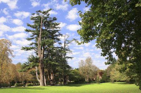 cedars: Lebanon cedars in park near to Chateau de Chenonceau castle, Loire Valley, France