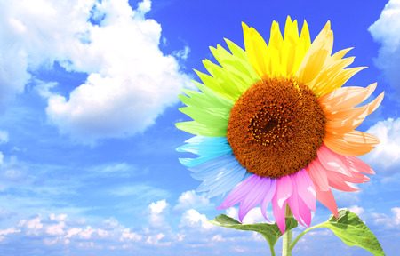 blue petals: Sunflower with petals, painted in different colors. On background  white clouds in the blue sky