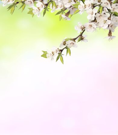 tree branch: Flowers of cherry on blurred background