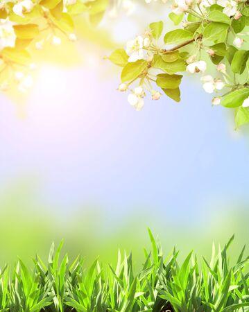 manzana verde: Flores de la manzana del resorte del color blanco y verde hierba sobre fondo azul cielo