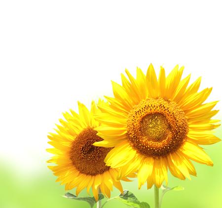 beautiful flowers: Bright yellow sunflowers. Isolated on white background Stock Photo