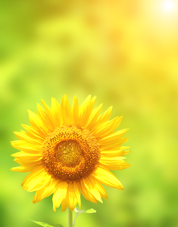 Sun flower: Bright yellow sunflower on green background