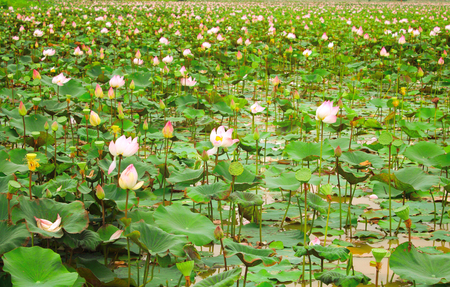 hydrophyte: Field of blooming lotus flower in Cambodia