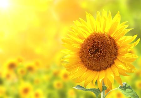 Sun flower: Leuchtend gelbe Sonnenblumen auf unscharfen Hintergrund sonnig Lizenzfreie Bilder