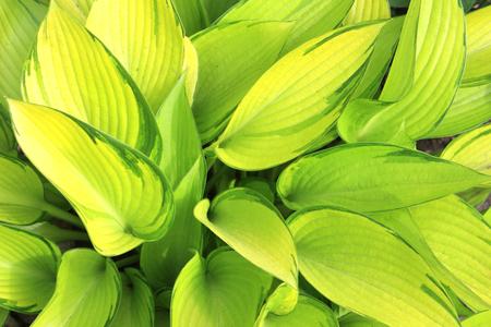 hosta: Fresh green leaves of a hosta Stock Photo