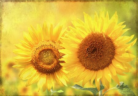 Grunge summer background with bright yellow sunflowers and old paper texture