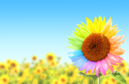 blue petals: Rainbow. Sunflower with petals, painted in different colors in field, on blue sky background Stock Photo