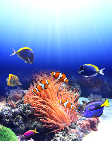 tang: Underwater scene with anemone and tropical fish - blue tang, clown fish, paracanthurus