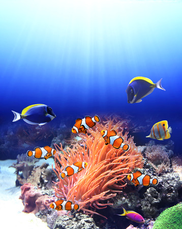 Underwater scene with anemone and tropical fish - blue tang, clown fish, paracanthurus
