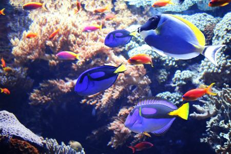 blue tang fish: Underwater scene with beautiful tropical fish - hepatus; blue tang