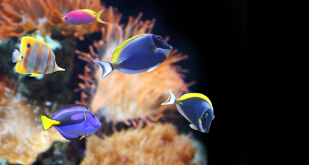 blue tang fish: Underwater scene with beautiful tropical fish - hepatus; blue tang. On black background