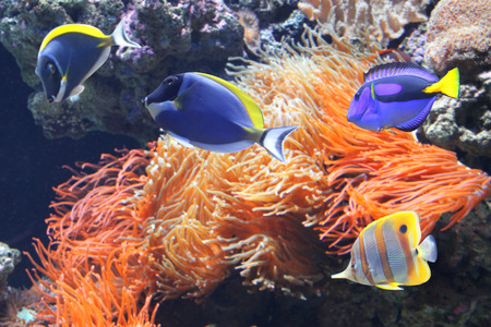 Underwater scene with beautiful tropical fish - hepatus; blue tang