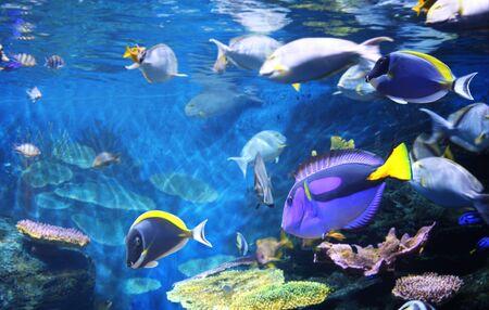 scène sous-marine avec de beaux poissons tropicaux - hepatus; tang bleu