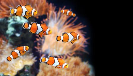 damselfish: Sea anemone and clown fish in marine aquarium. On black background Stock Photo