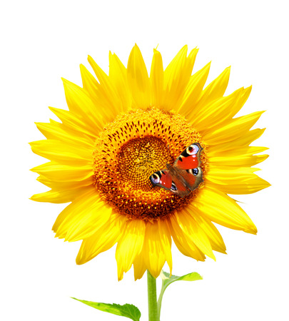 Butterfly on bright yellow sunflower. Isolated on white background