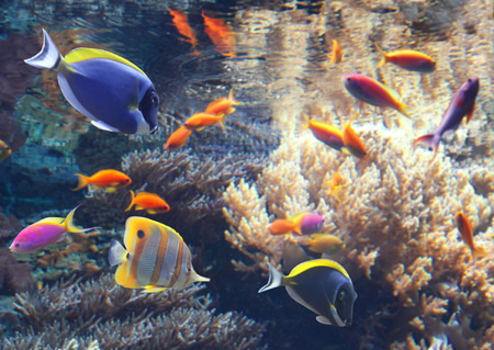hepatus: Underwater scene with beautiful tropical fish - hepatus; blue tang. Marine aquarium