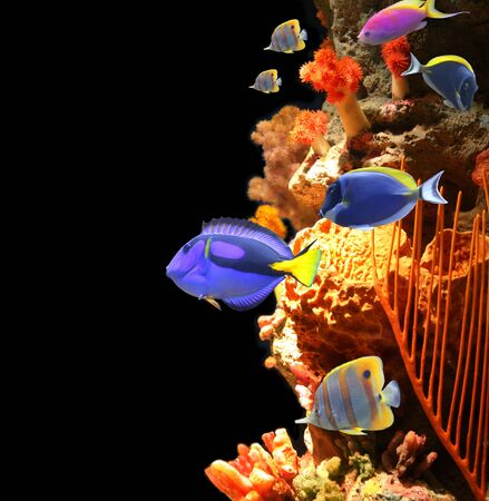 hepatus: Underwater scene with corals and beautiful tropical fish - hepatus; blue tang. On black background Stock Photo