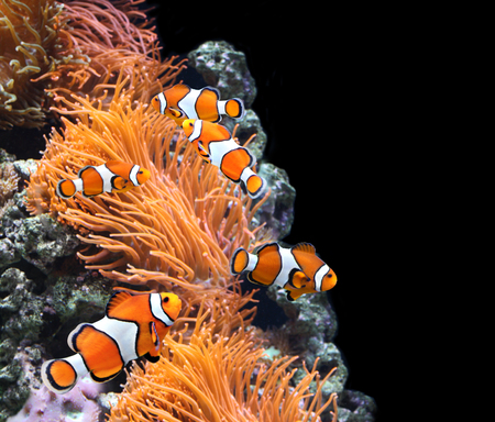 clown fish: Sea anemone and clown fish in marine aquarium. On black background Stock Photo