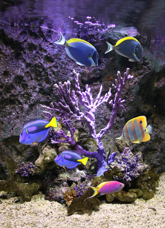 Underwater scene with corals and beautiful tropical fish - hepatus; blue tang Stock Photo