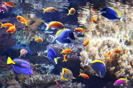 paracanthurus: Underwater scene with beautiful tropical fish - hepatus; blue tang